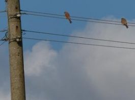 Природозащитници: Заради топлата есен, ветрушките още не са мигрирали на юг