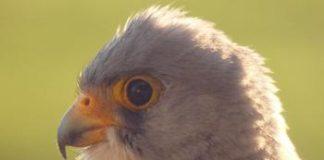 Работата на Зелени Балкани в Левка за опазването на белошипата ветрушка е провокирала симпатиите на английски посетители